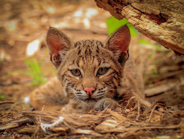 Oklahoma Bobcat Stare Down