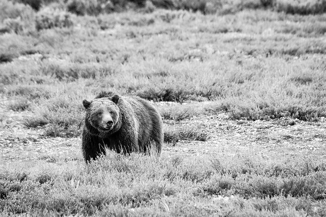 Grizzly 399, Grand Teton National Park. May, 2020.