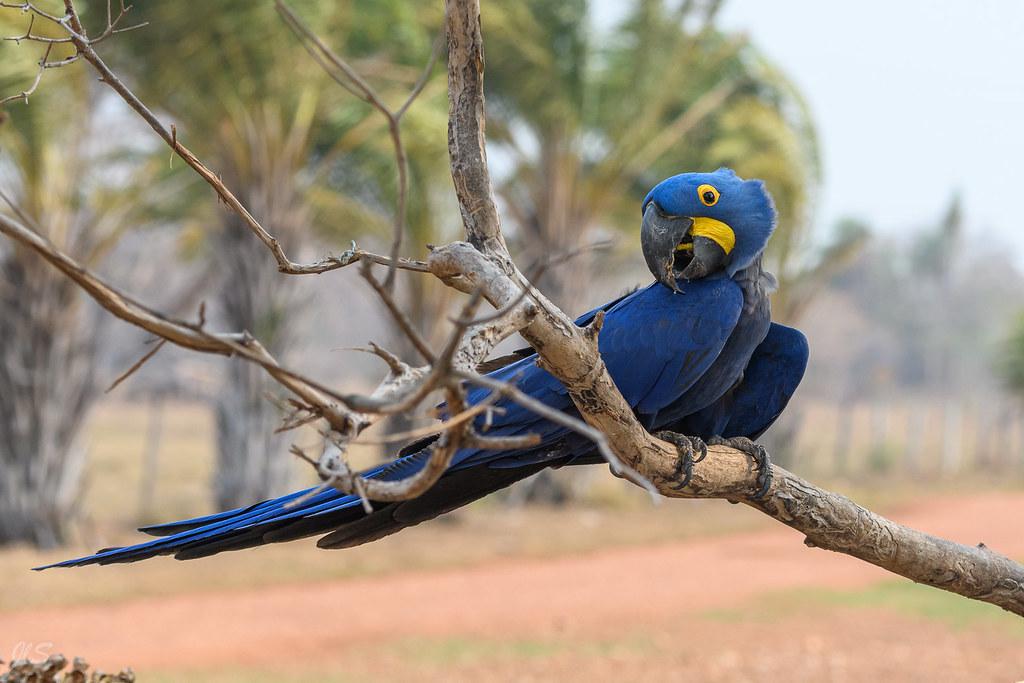 Hyacinth macaw, Ara hyacinthe