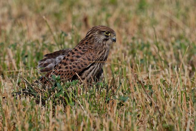 Faucon crécerelle juvénile - Falco tinnunculus - Common Kestrel - Turmfalke - Cernícalo vulgar - Gheppio comune