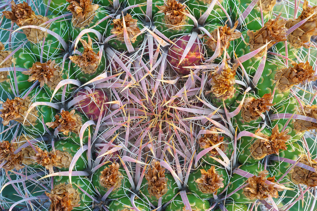 A close-up view of a compass barrel cactus with dried flowers atop green fruit with two buds waiting to bloom, taken on the Chuckwagon Trail in McDowell Sonoran Preserve in Scottsdale, Arizona in August 2020