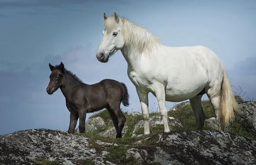 Eriskay pony and foal