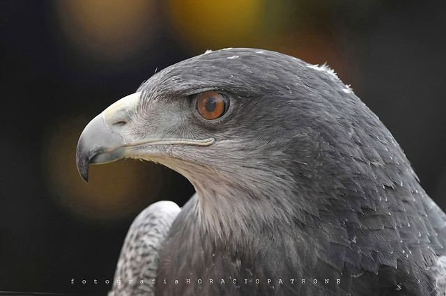 - AGUILA MORA  - THE EYE OF HORUS ;) - (Geranoaetus melanoleucus - Black-Chested Buzzard-Eagle).toma Reserva Eco Parque .Argentina.