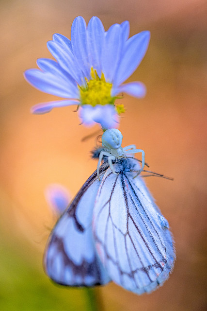 subalpine fleabane, a crab spider and his butterfly meal