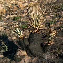 2020 07 Yucca burned in the Bighorn Fire