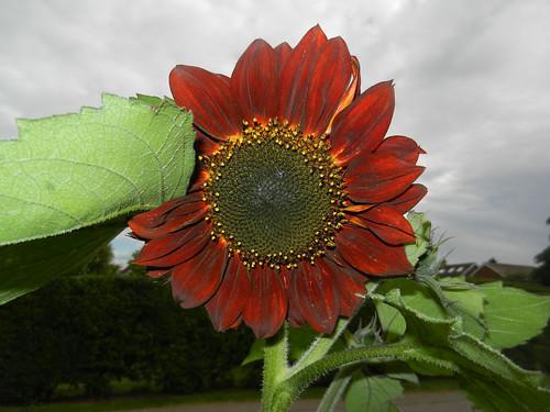 Sunflower DSCN0491