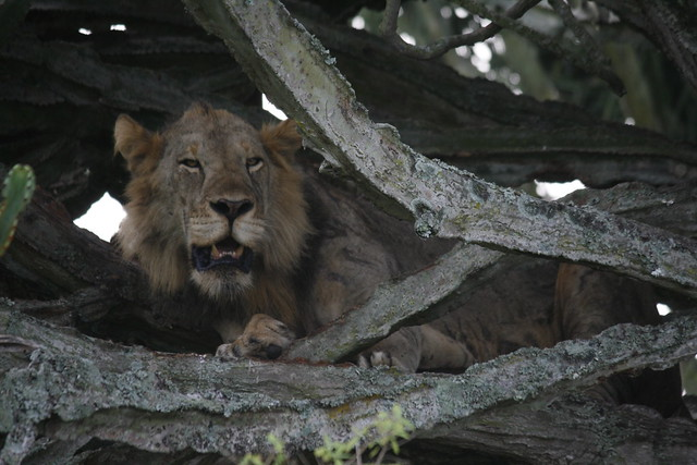 Climbing Lions of Ishasha
