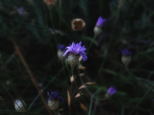 August Purple (poem below)