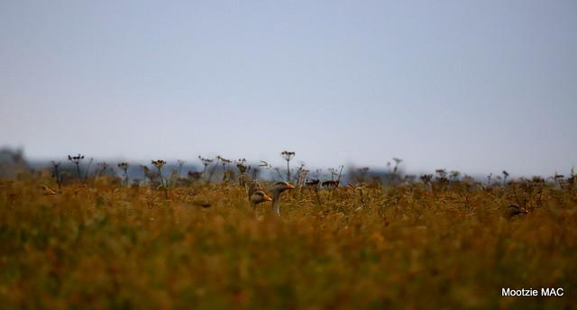 Camo geese