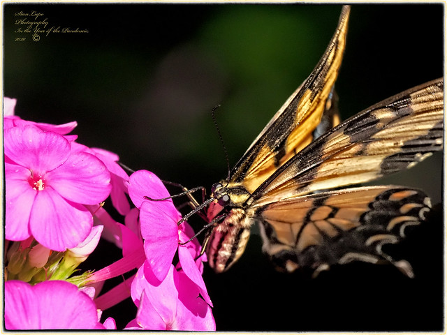 Eastern Tiger Swallowtail on Phlox_08_05_20