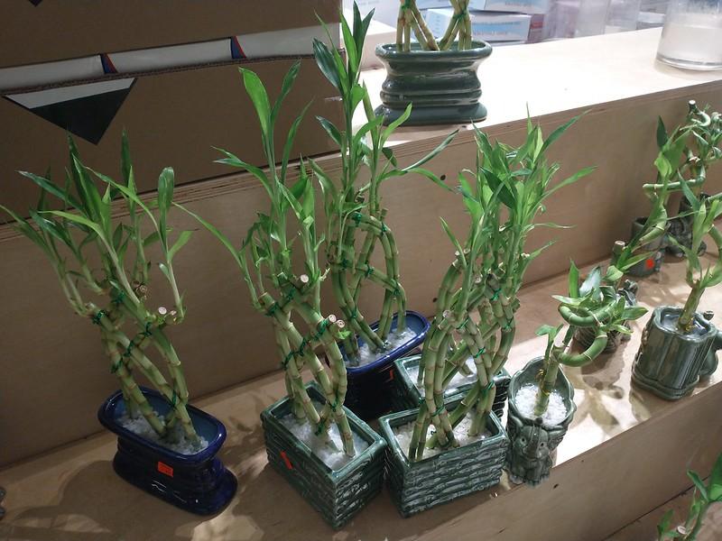 Lucky bamboo, $C 14.99 and up #toronto #stockyards #nationsexperience #bamboo #luckybamboo #green