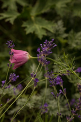 Pink California Poppy with Lavender
