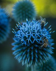 Globe Thistle with Honeybee