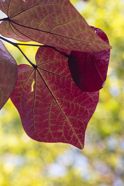 Redbud heart shaped leaves