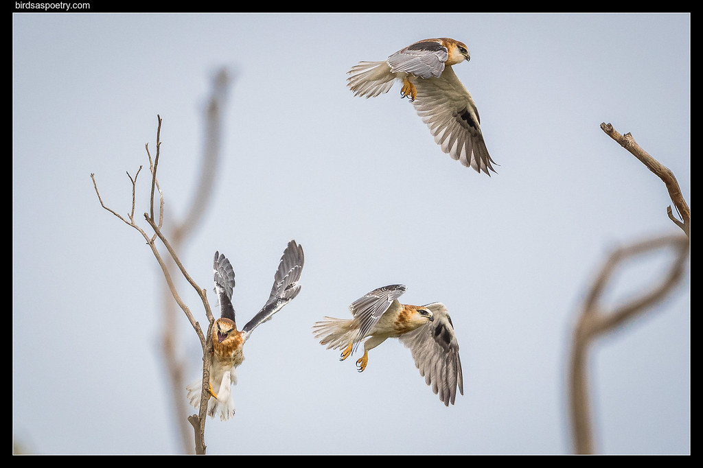 Black-shouldered Kite: Trio