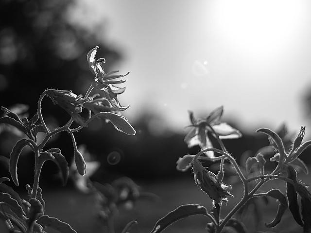 flowers facing the setting sun