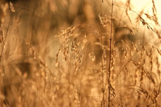 Wild grass blowing in the wind at sunset!