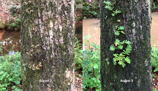 Resurrection Fern Before and After Rain