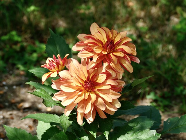 Dahlias in my garden this year.  I hope it's cooler tomorrow so that I can do some dead heading.