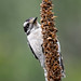 Downy Woodpecker-54207.jpg