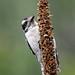 Downy Woodpecker-54207.jpg