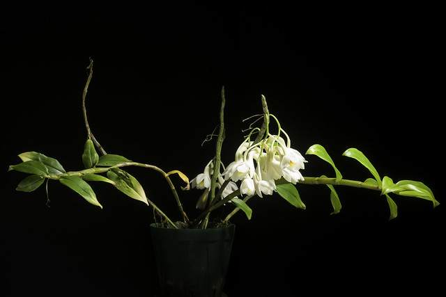 Dendrobium sp. (aff. endertii)