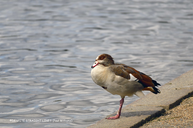 Egyptian goose (Alopochen Aegyptiaca)  -  (Published by GETTY IMAGES)