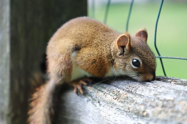 Backyard Red & Fox Squirrels (Ypsilanti, Michigan) - 217/2020 54/P365Year13 4437/P365all-time (August 4, 2020)