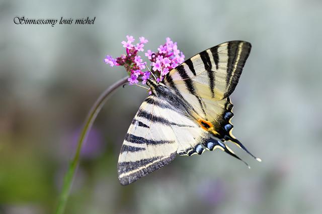 Scarce swallowtail / Flambé
