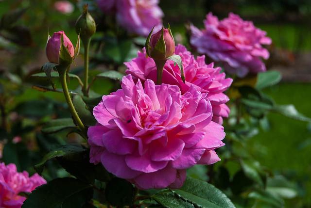 Pink in Sunlight