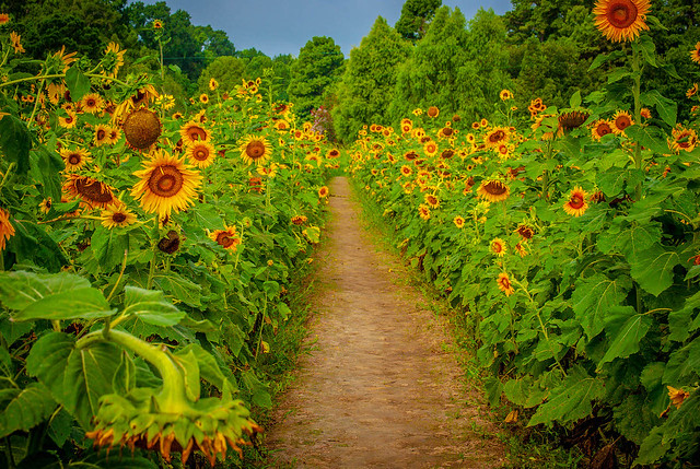 Path Through Sunflowers