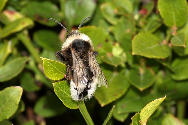 Unknown Bee