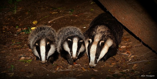 Badgers - Sow and young cubs