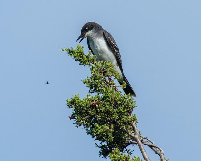 Eyes on the prize; Eastern Kingbird (Tyrannus tyrannus)