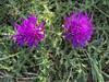 Thistle flowers, Barnack Hills + Holes 2020IMG_1396