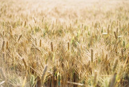 england unitedkingdom histon barley field sunrise crop fujifilm fujifilmindustrial100