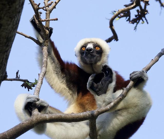 A Coquerel's sifaka (Propithecus coquereli) lemur, contemplating its next leap...