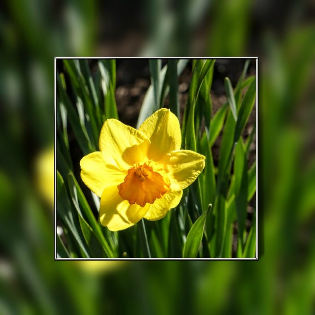 A Solitary Daffodil Looking for his Wordsworth.