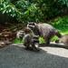 Mom Raccoon and her babies