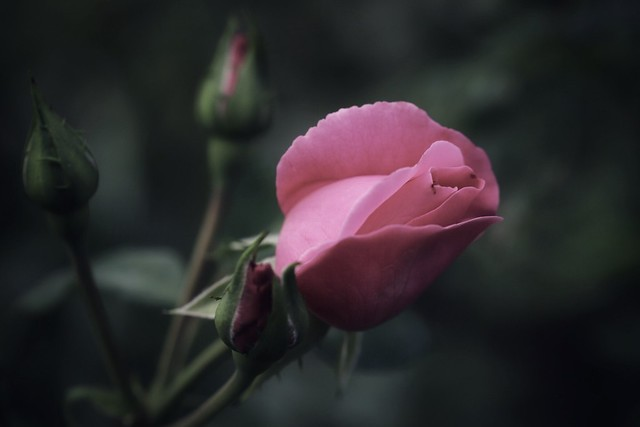 La rose ...