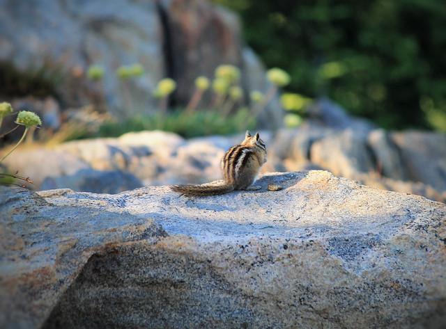 Tender Mountain Critter