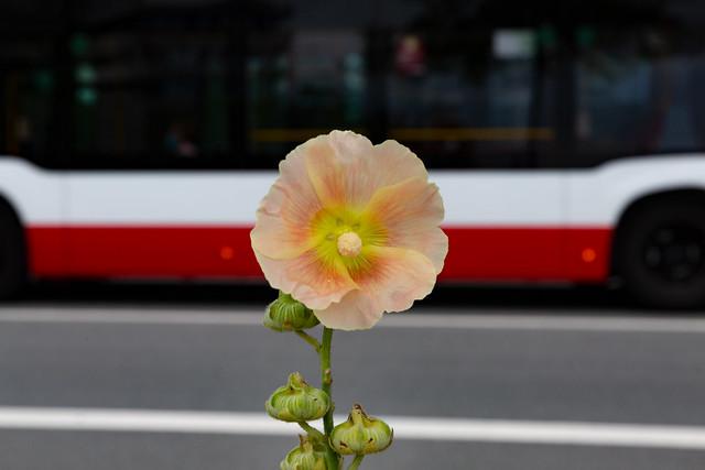 Stadtblume