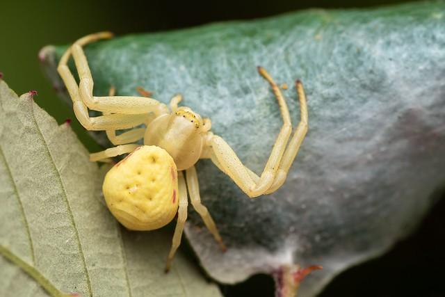 Female Flower Crab Spider (Misumena vatia)