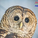 Barred Owls are a Hoot
