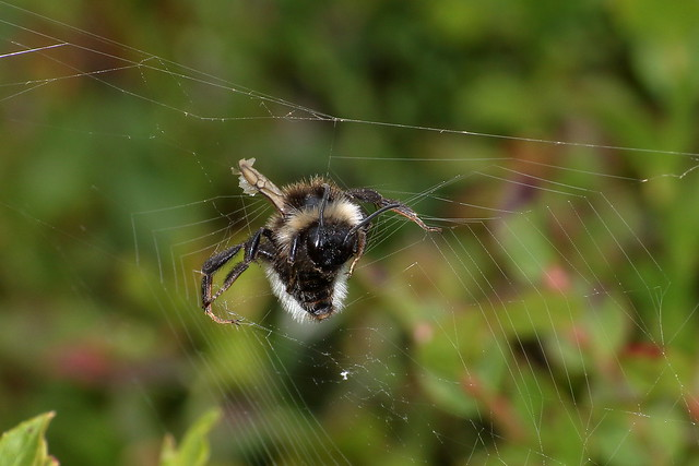 Unknown Bee caught in a web