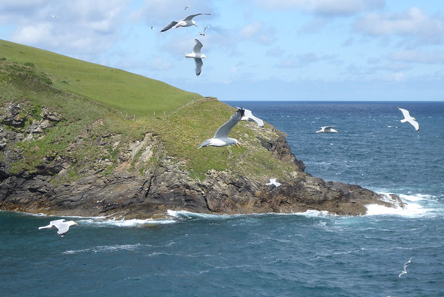 Herring Gulls, Port Isaac, Cornwall