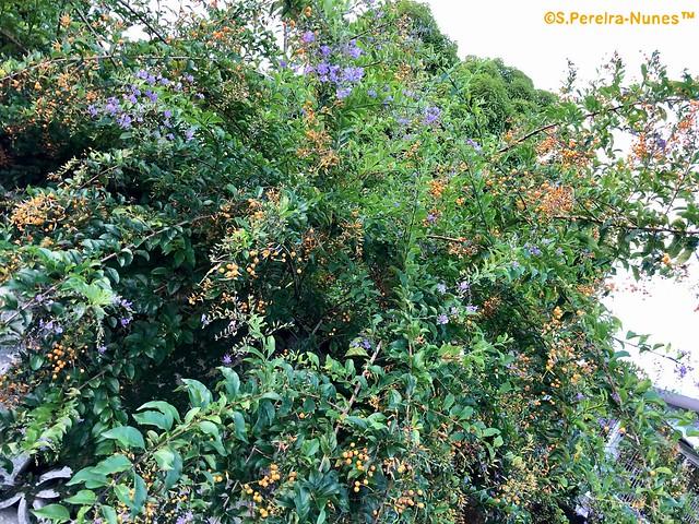 Pigeon berries, Duranta, Pingo-de-0uro, Paramaribo, Suriname