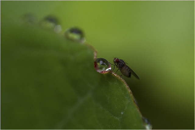 Eeny weeny fly