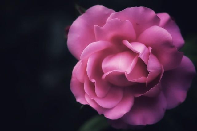 « Chaque rose a son parfum, sa beauté, son essence. »