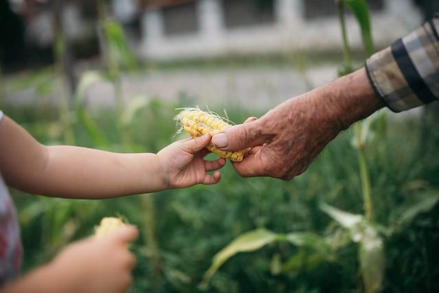 Granpa giving corn to a grand daughter